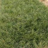 多年生黑麦草